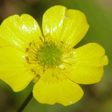 Ljutić, cvet iz leksikona